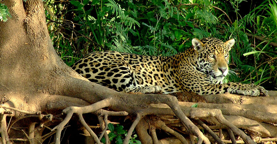 Jaguar-The-Pantanal-2-sh