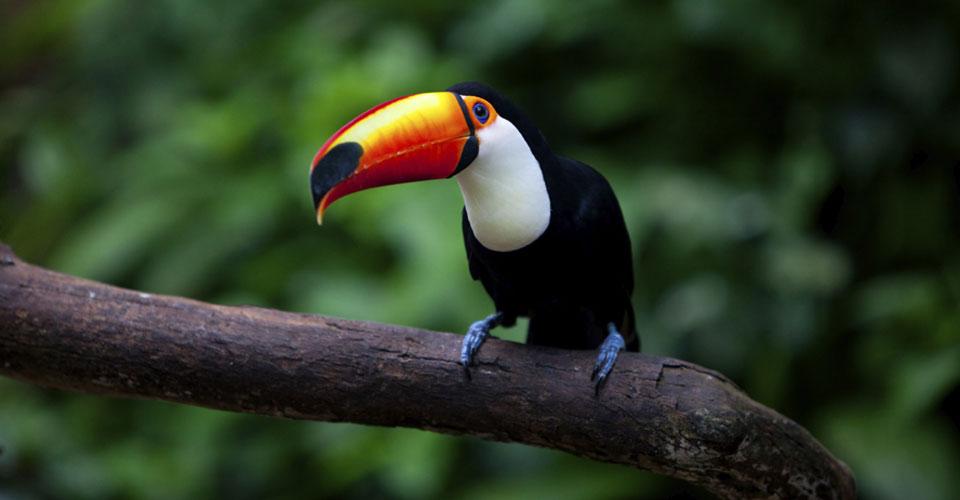 Toucan-The-Pantanal