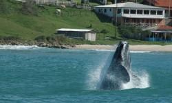 Whale Watching, Brazil