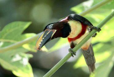 Aracari, The Amazon